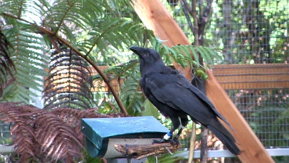 island-conservation-alala-hawaiian-crow