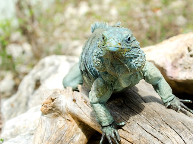 island-conservation-blue-iguana