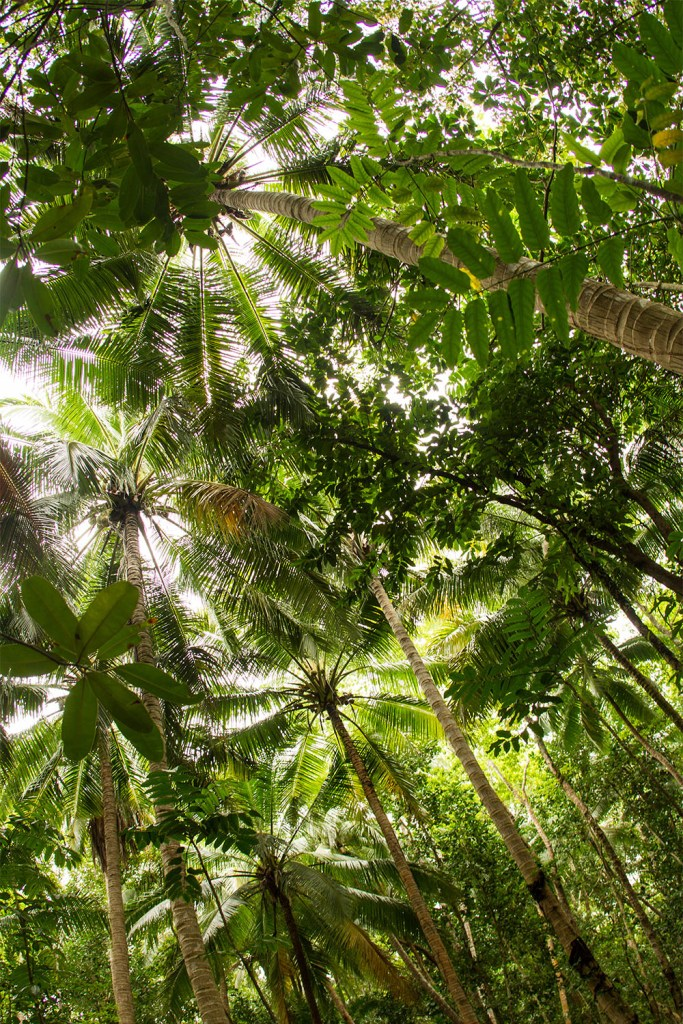 island-conservation-preventing-extinctions-palau-trees