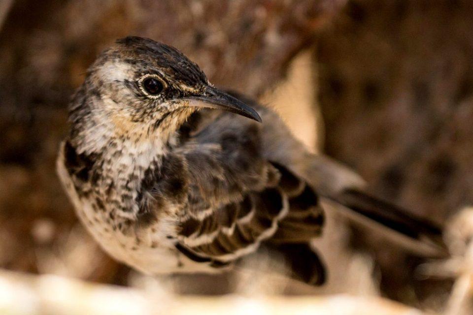 island watch conservation science floreana mockingbird galapagos ecuador preventing extinctions