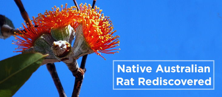 island-conservation-black-footed-tree-rat-feat