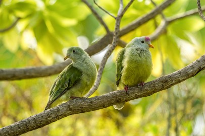 A pair of Atoll Fruit Doves. Credit: Marie-Helen Burle/Island Conservation