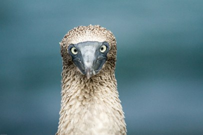 Blue-footed Booby making eye contact. Credit: Tommy Hall/Island Conservation
