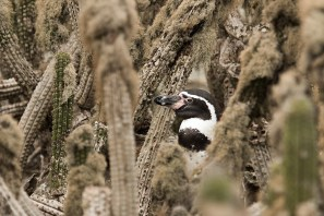 Humboldt Penguin in a Forest of Cacti, Isla Chañaral. Credit: Irene Espinosa/Island Conservation