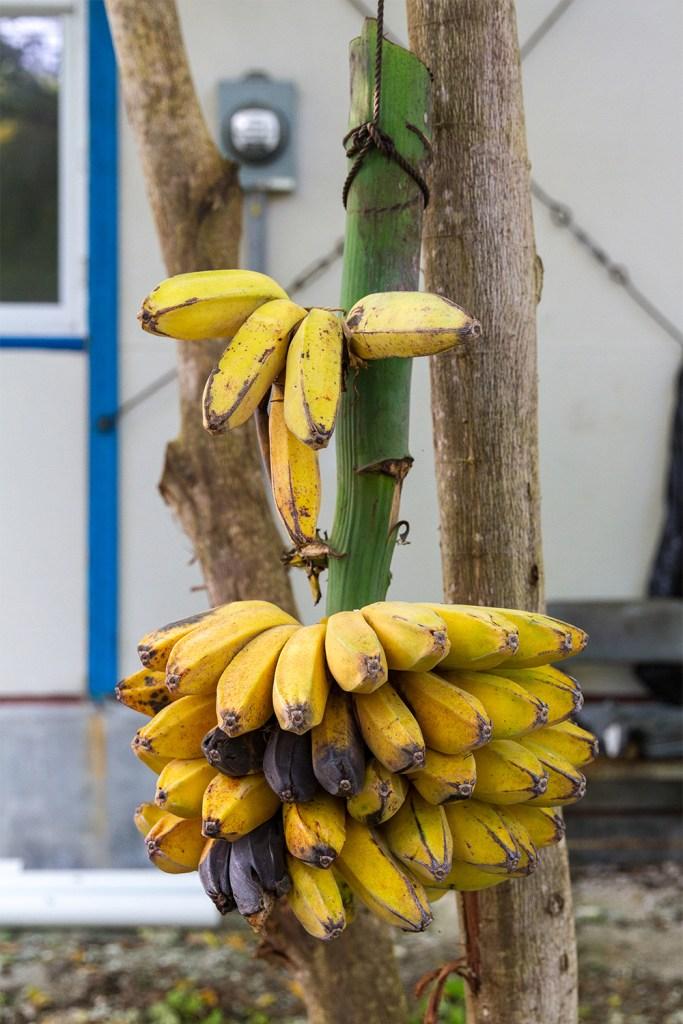 island-conservation-preventing-extinctions-kayangel-biodiversity-bananas