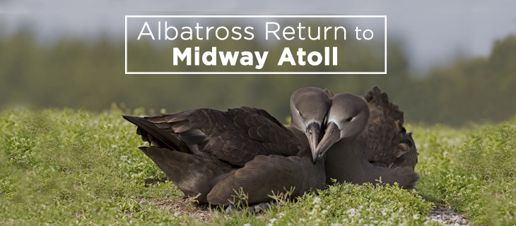 island-conservation-midway-atolls-albatross-feat