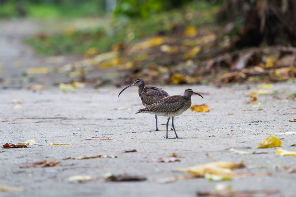 island-conservation-preventing-extinctions-kayangel-birds