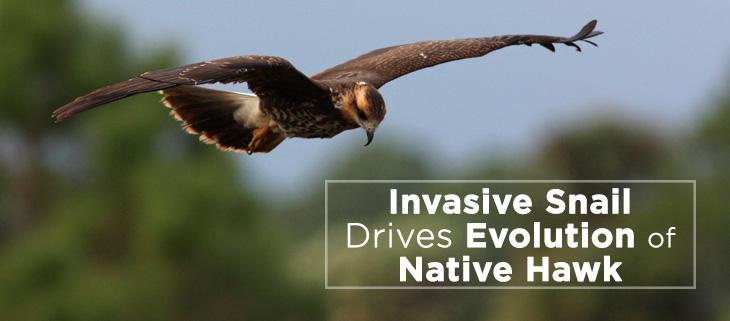 island-conservation-snail-kite-invasive-apple-snail-feat