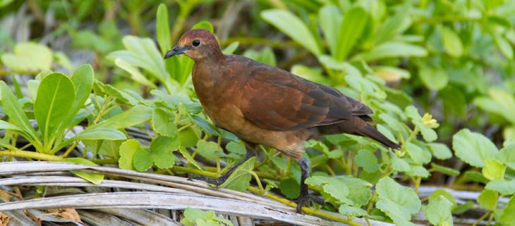 island-conservation-invasive-species-preventing-extinctions-polynesian-gene-drive-gbird-polynesian-ground-dove-feat