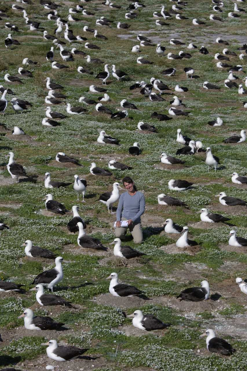 island-conservation-invasive-species-preventing-extinctions-caren-loebel-fried-albatross-colony-midway