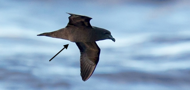 island-conservation-invasive-species-preventing-extinctions-mascarene-petrel-egg