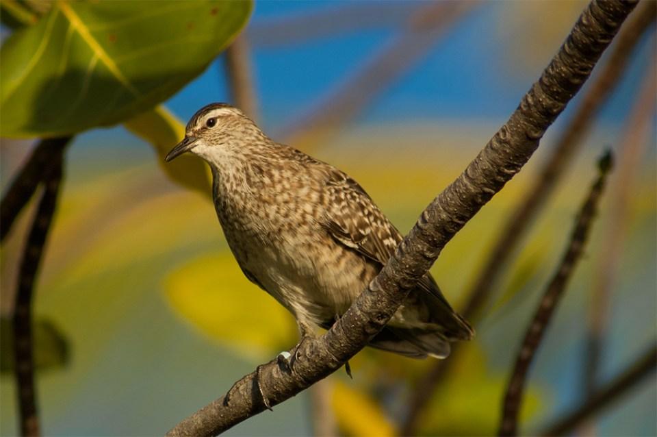 island-conservation-invasive-species-preventing-extinctions-holistic-conservation-science-tuamotu-sandpiper