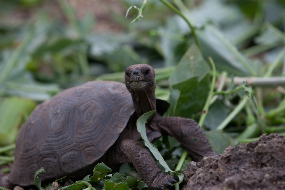 island-conservation-invasive-species-preventing-extinctions-pinzon-giant-tortoise-green-list-juvenile