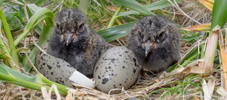 island-conservation-invasive-species-preventing-extinctions-biodiversity-hawadax-seabird-chicks