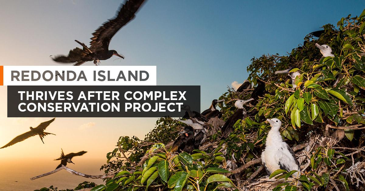 island-conservation-invasive-species-preventing-extinctions-magnificent-frigatebird-colony-featured