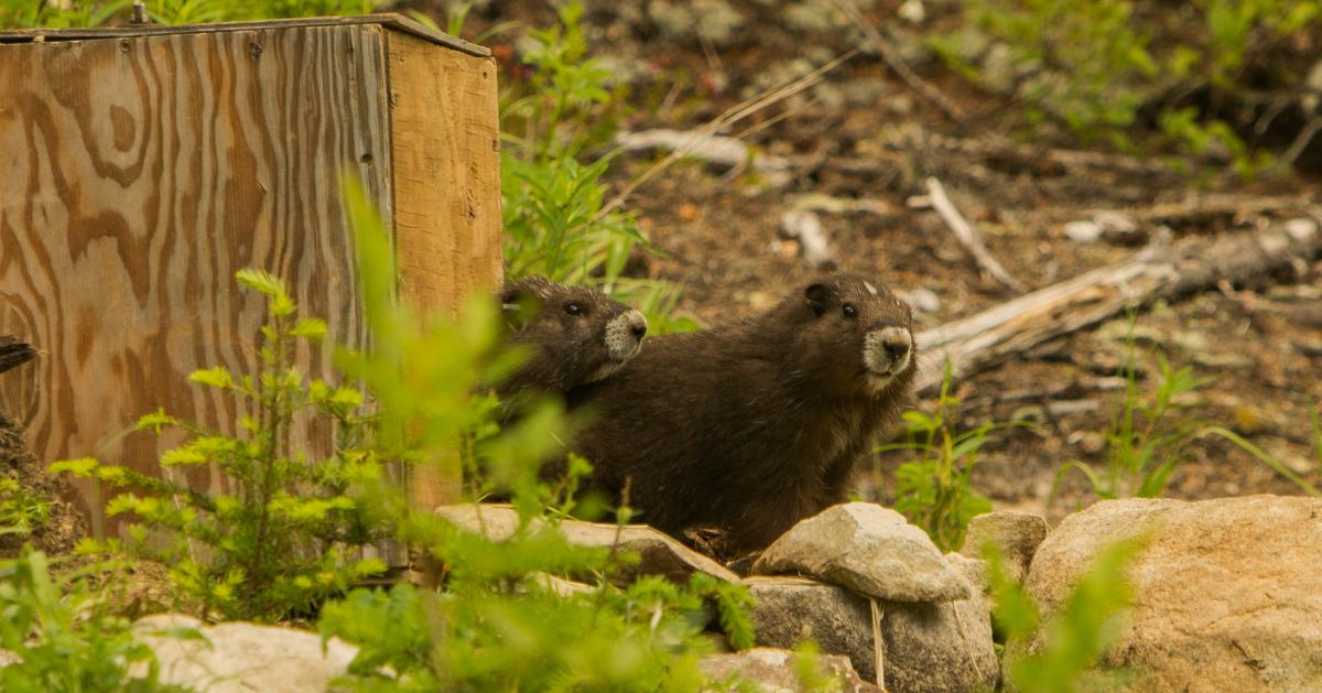 Island-conservation-invasive-species-preventing-extinctions-vancouver-island-marmot
