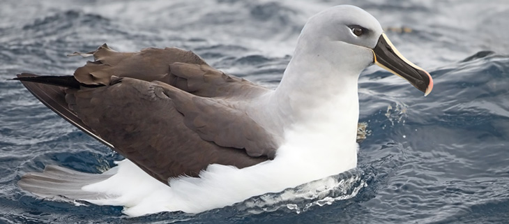 island-conservation-invasive-species-preventing-extinctions-grey-headed-albatross-feat