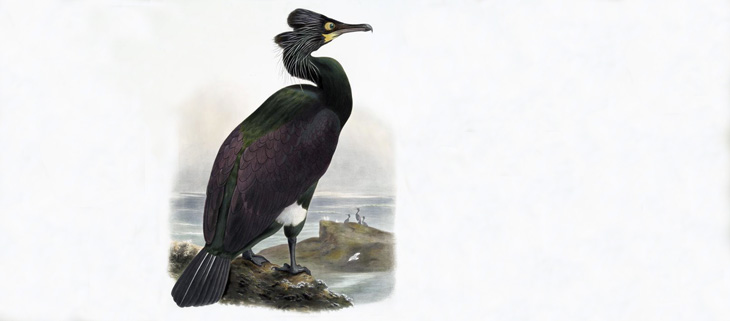 island-conservation-invasive-species-preventing-extinctions-spectacled-cormorant-climate-change-feat