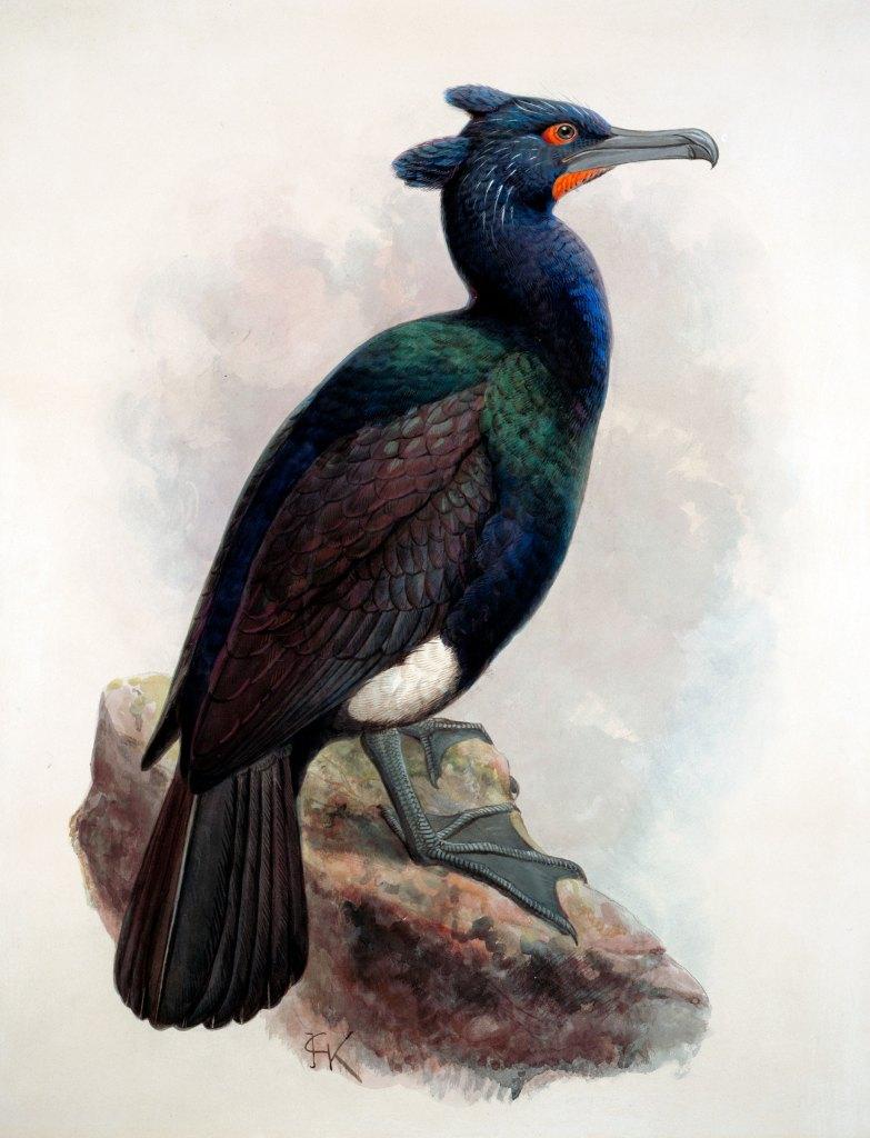 island-conservation-invasive-species-preventing-extinctions-spectacled-cormorant-extinct-seabird