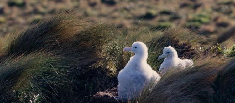 island-conservation-invasive-species-preventing-extinctions-antipodes-million-dollar-mouse-success-videos