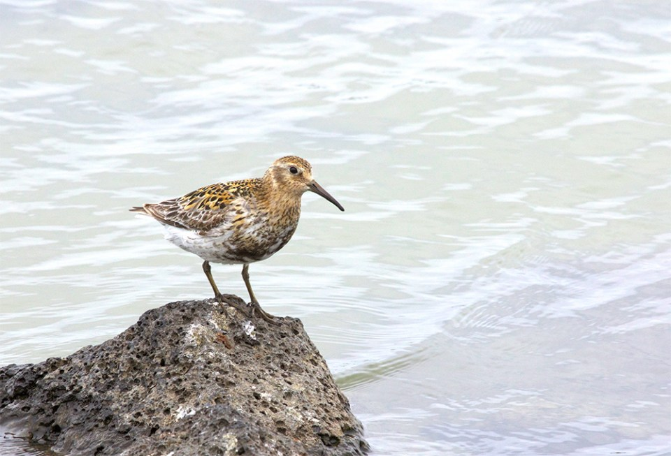 island-conservation-invasive-species-preventing-extinctions-st.-paul-island-rock-sandpiper