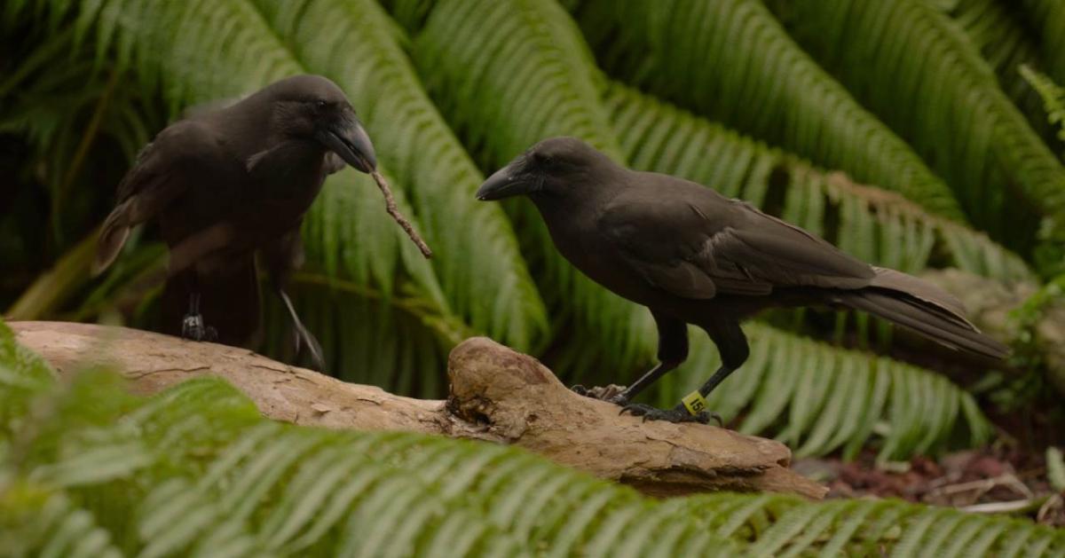 island-conservation-invasive-species-hawaii-alala-feat
