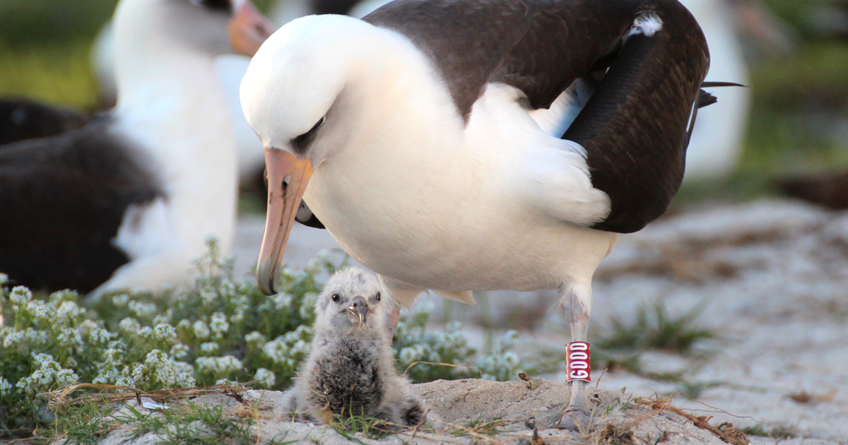 island-conservation-invasive-species-preventing-extinctions-wisdom-laysan-albatross-mate-chick
