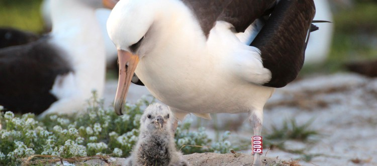 island-conservation-invasive-species-preventing-extinctions-wisdom-laysan-albatross-mate-chick