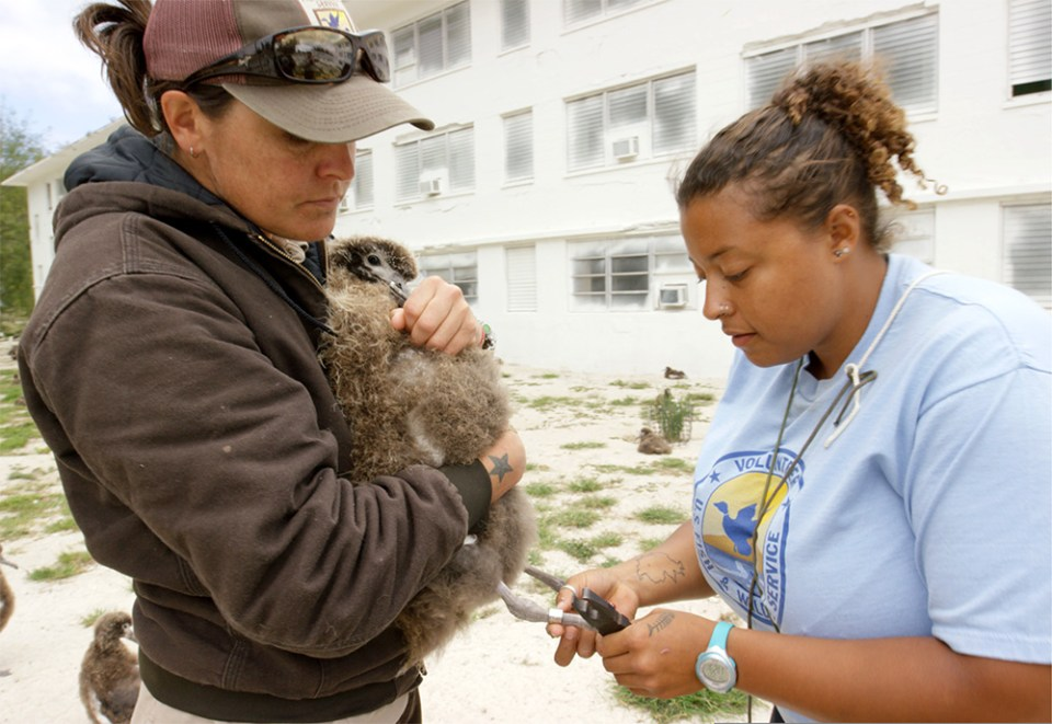 island-conservation-invasive-species-preventing-extinctions-wisdom-laysan-albatross-midway-atoll-banding-chick