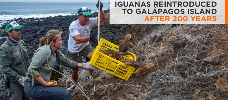 Santiago island Seymour norte island Conolophus subcristatus galapagos national park land iguanas island conservation
