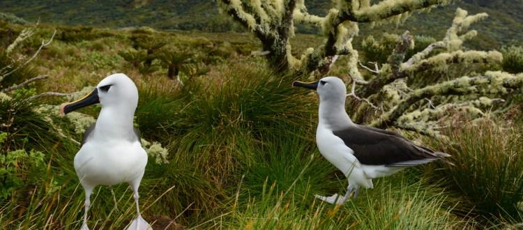 island-conservation-invasive-species-preventing-extinctions-gough-island-rspb-yellow-nosed-albatross