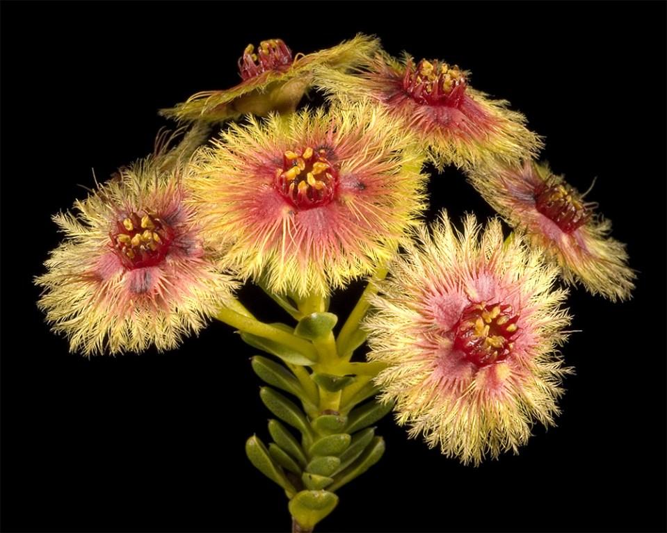 island-conservation-preventing-extinctions-bottlebrush-myrtle-myrtaceae-university-of-queensland-root-rot-fungus-australia