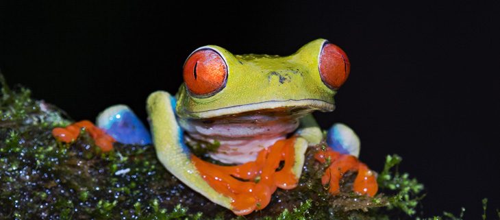 island-conservation-preventing-extinctions-feat-chytrid-fungus-red-eyed-tree-frog