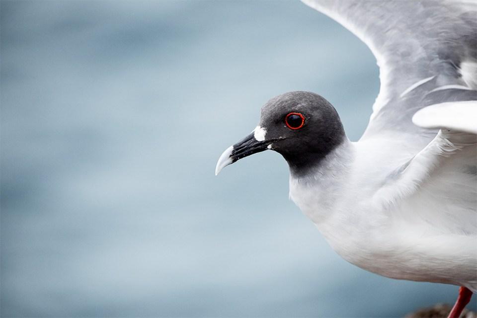 island-conservation-preventing-extinctions-seymour-norte-island-restoration-galapagos-gull-wildlife-biodiversity