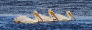 american white pelican  010