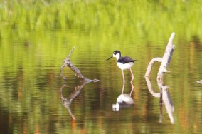 black necked stilt  005