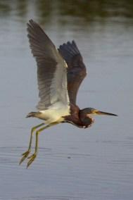 great blue heron  001