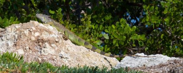 iguana  001