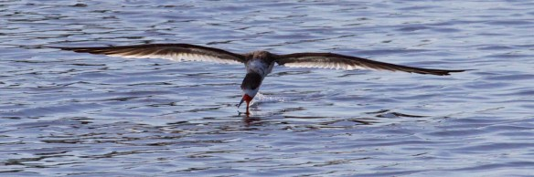 Black Skimmer, skimming of course
