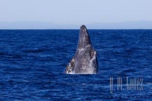 Whales SD  088