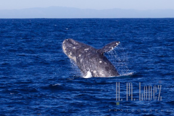 Whales SD  094