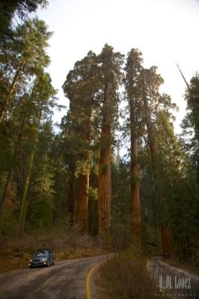 Sequoia 013