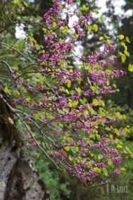 Sequoia  027