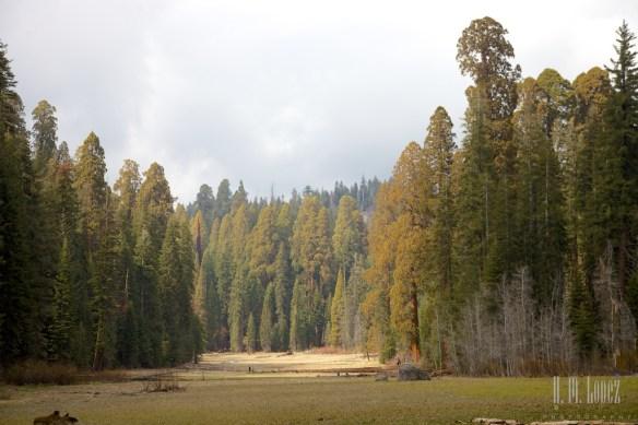 Sequoia  045