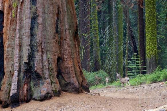 Sequoia  057