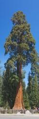 Sequoia 076