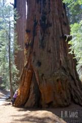 Sequoia 080