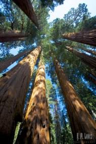 Sequoia  085