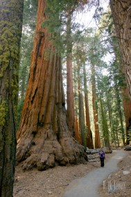Sequoia  088