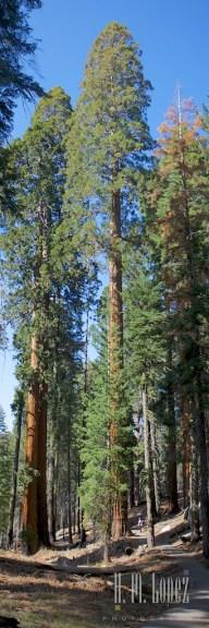 Sequoia 094